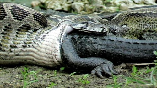 6 Insane Species Infestations (Caused by Humans)