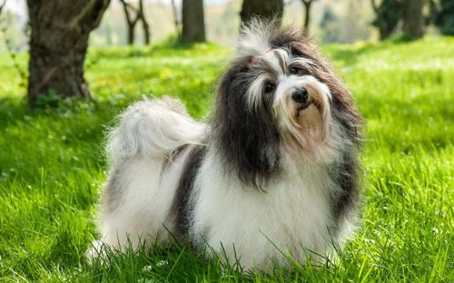 7 Best Dog Clippers for Havanese Reviews