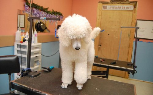 Poodle Grooming – Ultimate Guide: Head to Tail, Style, Tools & More
