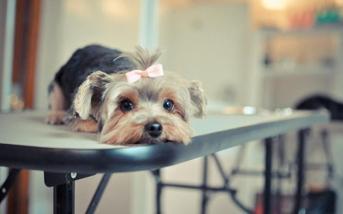 How to Groom Yorkshire Terrier: Ultimate Guide