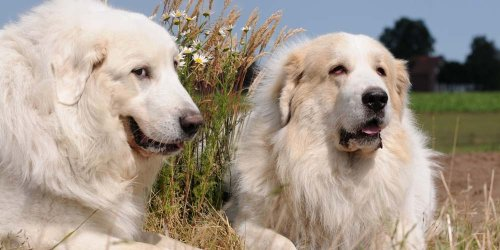 7 Best Clippers for Great Pyrenees (2021 Reviewed)