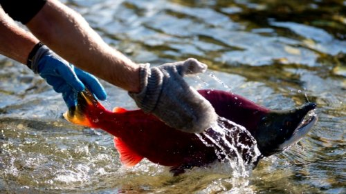 Mercury risk in fish 'low' among Indigenous and remote communities, study finds