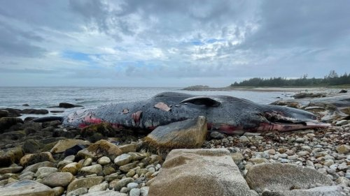 25-metre endangered blue whale washes ashore on beach south of Halifax