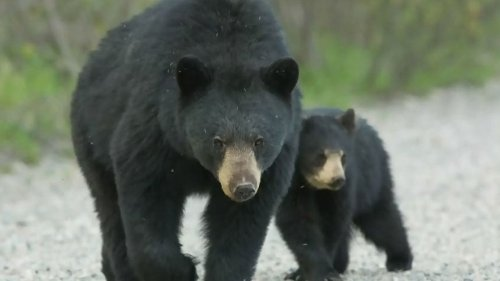 Naturalist Michael Runtz on recent bears in the 'burbs and what you should know