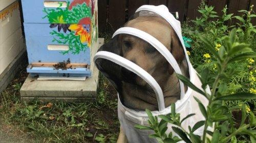 Beekeeping dog helps owners deliver honey in Edmonton