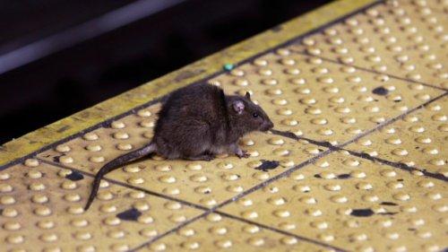 Pest control company reveals 'rattiest' cities in Ontario