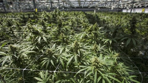 Former CannTrust leaders to make first court appearance following fraud charges
