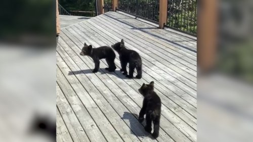 Three bear cubs found wandering near Kenora after mother was killed