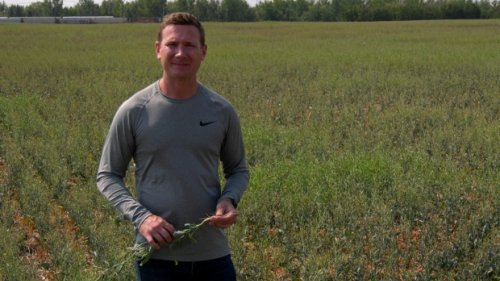 'They're just burnt right up to nothing': Sask. canola farmers brace for challenging harvest