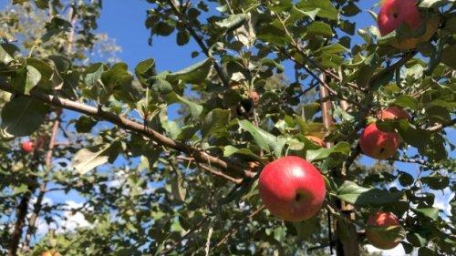 Apple picking season has arrived in the Ottawa area