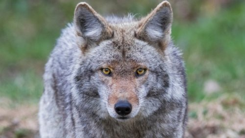 Toronto neighbourhood afraid after residents attacked by coyote