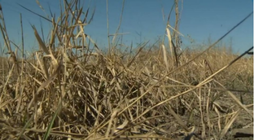 Province forecasts only 19.7 per cent of Alberta crops are in 'good' to 'excellent' condition