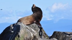 Discover sea lion