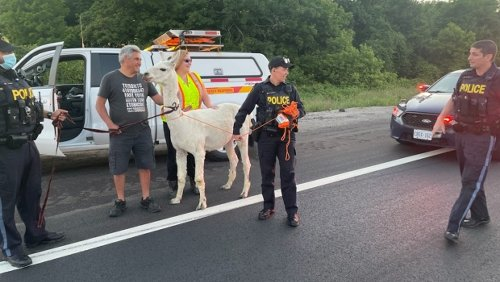 Llama found strolling along Highway 400 at King Road causes traffic delays