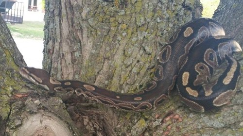 Escaped snake still on the loose in Kitchener neighbourhood, now missing for one week