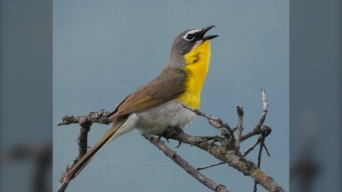 Rare yellow birds need wild roses to survive in British Columbia, researcher says