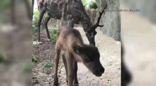 Assiniboine Park Zoo showing off new baby reindeer