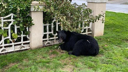 'Food-conditioned' bear killed by conservation in North Vancouver was 'peaceful and trusting,' society says