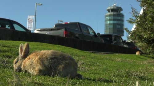 YVR rabbit cull suspended, airport promises to seek 'alternative solutions' to control population