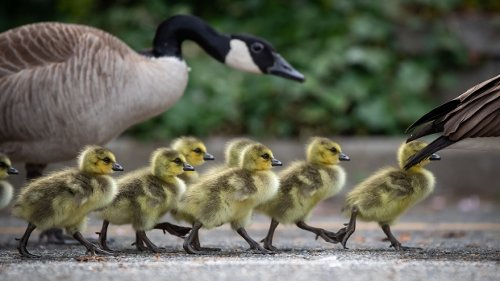 Canada geese: What you may not know about the pesky national symbol