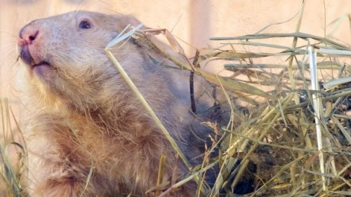 Groundhog Day moves online across Canada as precaution against COVID-19