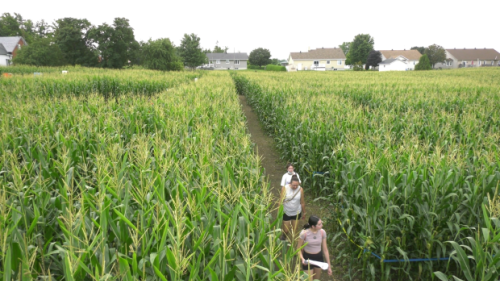Get lost for a day in one a-maze-ing corn field in Vankleek Hill, Ont.