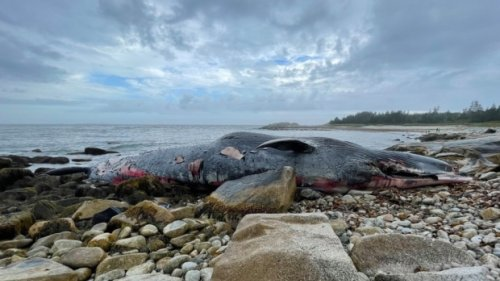 25-metre endangered blue whale washes ashore on N.S. beach south of Halifax