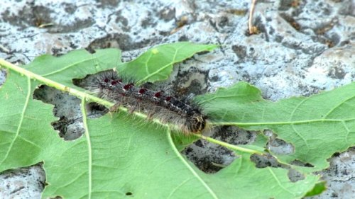 Toronto dealing with 'unprecedented' number of gypsy moth caterpillars this year