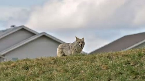 Coyote concerns: Calgarian attacked as neighbours complain of an animal problem