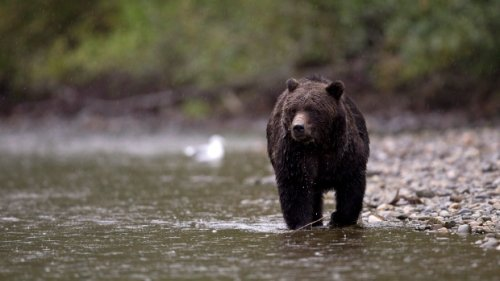 Bear spray recalled in Canada; might not function 'when users need them for protection'