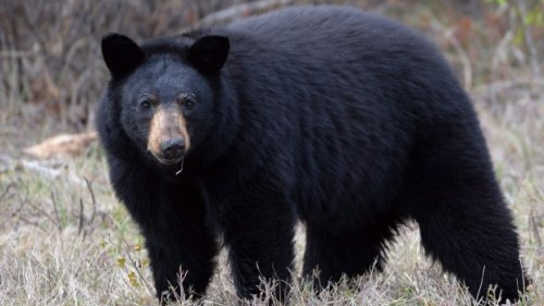 Report of black bear sighting in north London, Ont.