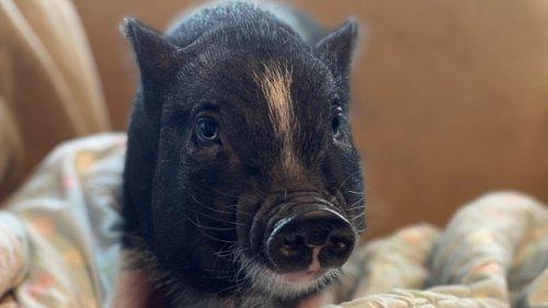 Eunice, a 6-week-old Saskatoon piglet, finds forever home