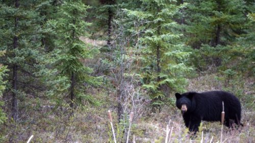 Woman fatally mauled by bear in northern Alberta