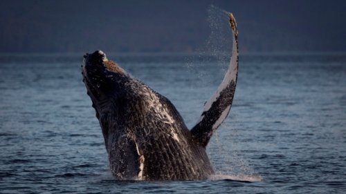 Injured humpback whale spotted off Vancouver; warning issued to local boaters