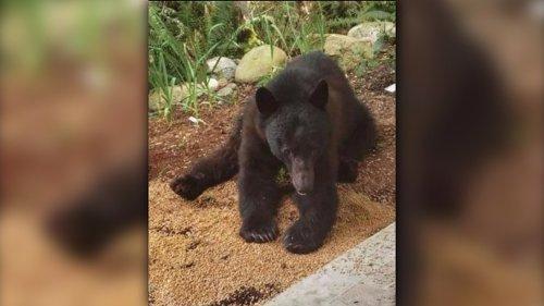 Sunshine Coast man fined $900 after letting bear family feast on grain