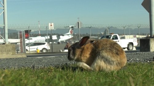 Vancouver airport has hired someone to shoot and kill its unwanted rabbit population