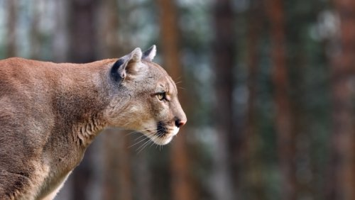 B.C. woman attacked by cougar on her own property, airlifted to hospital with serious injuries
