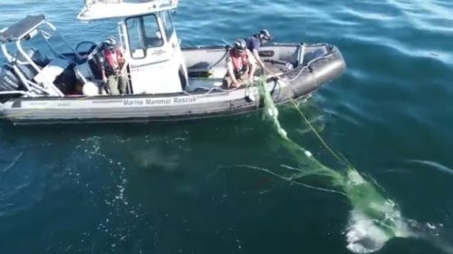 Drone video shows rescue of grey whale tangled in fishing line near Vancouver Island