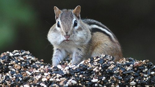 Some areas of South Lake Tahoe closed after chipmunks test positive for plague