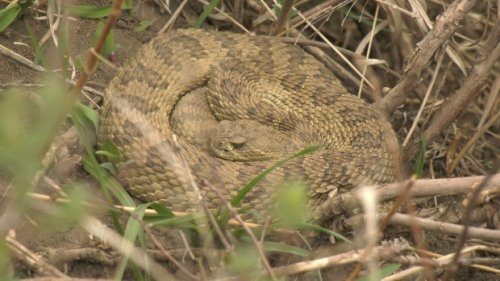 'My heart was racing': Lethbridge teen rides bike into rattlesnake den