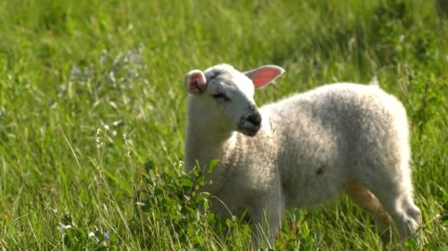 Norfolk County sheep farm recognized for reducing their carbon footprint