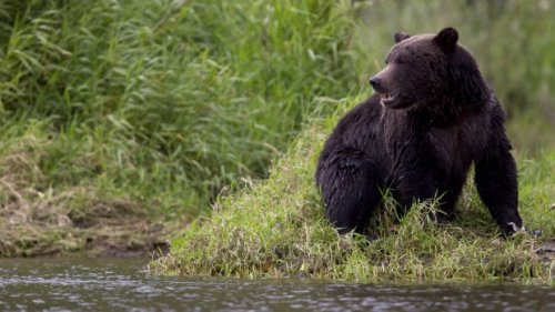 Grizzly attacks man on his B.C. property after dogs likely provoked it: BCCOS