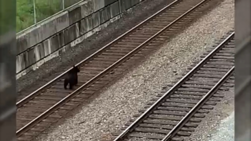 'The coolest thing ever': Bear spotted strolling along train tracks near downtown Vancouver
