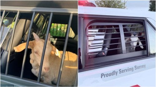 Kids behind bars: Runaway goats on B.C. highway 'taken into police custody'