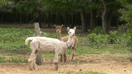 Alpaca farm owners looking for a buyer