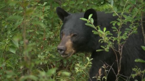 Why did the bear cross the river? Wildlife expert weighs in on increase in London-area bear sightings