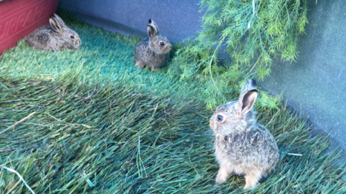 'Find a hare, leave it there': Wildlife experts respond to video of baby hare hiding in Edmonton yard