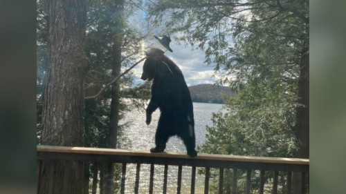 'It was unbelievable,' Haliburton, Ont. couple record young bear's balancing act
