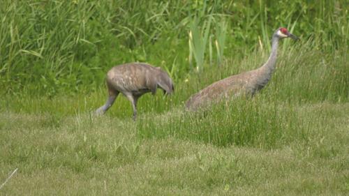 Greater Victoria birdwatchers flock to Saanich wetland to eye rare cranes