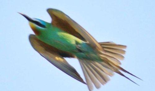 Yeşil arı kuşu 31 yıl sonra ilk kez görüldü